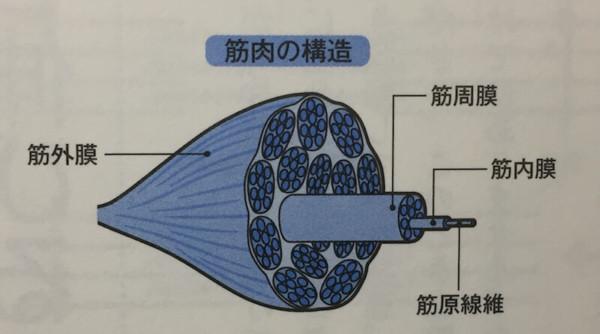 筋肉の構造